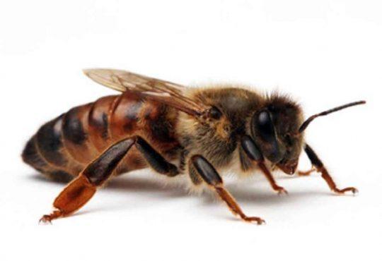 زنبور عسل و زنبور وحشی